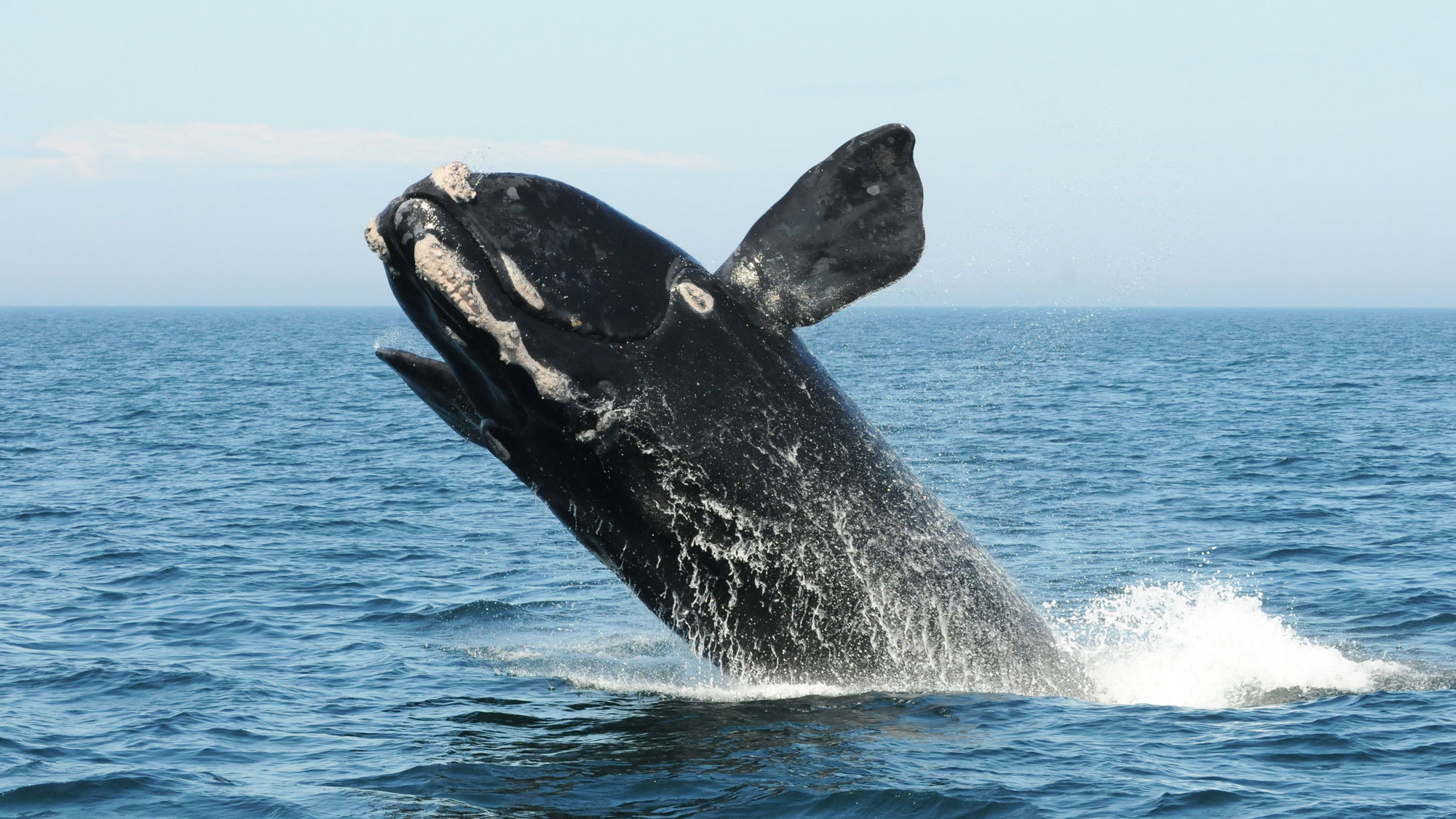 At Sea And In Court The Fight To Save Right Whales Intensifies Yale E360