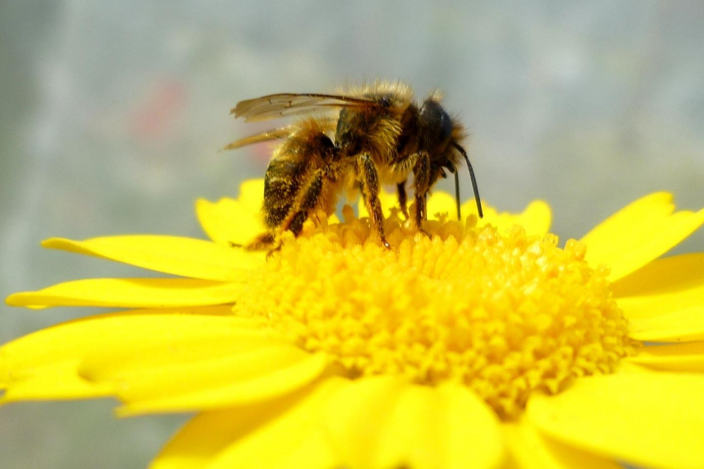 Global Warming May Cause Bees to Mistime Spring Emergence