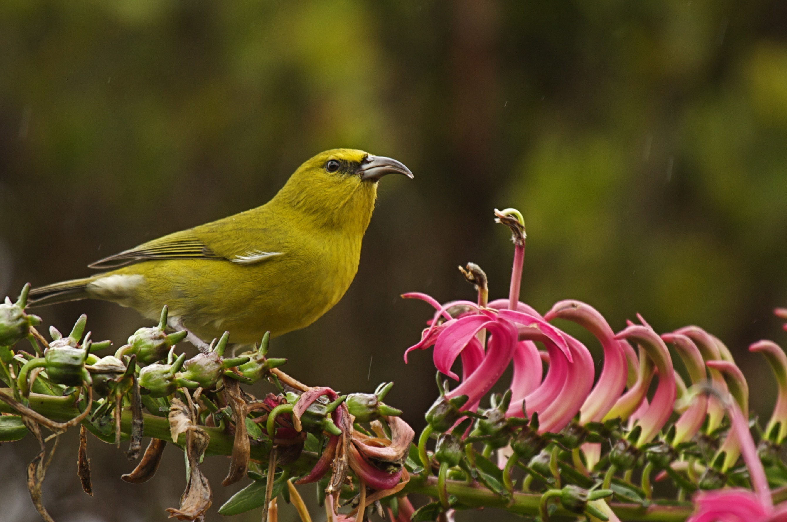 What's Killing Native Birds In The Mountain Forests Of