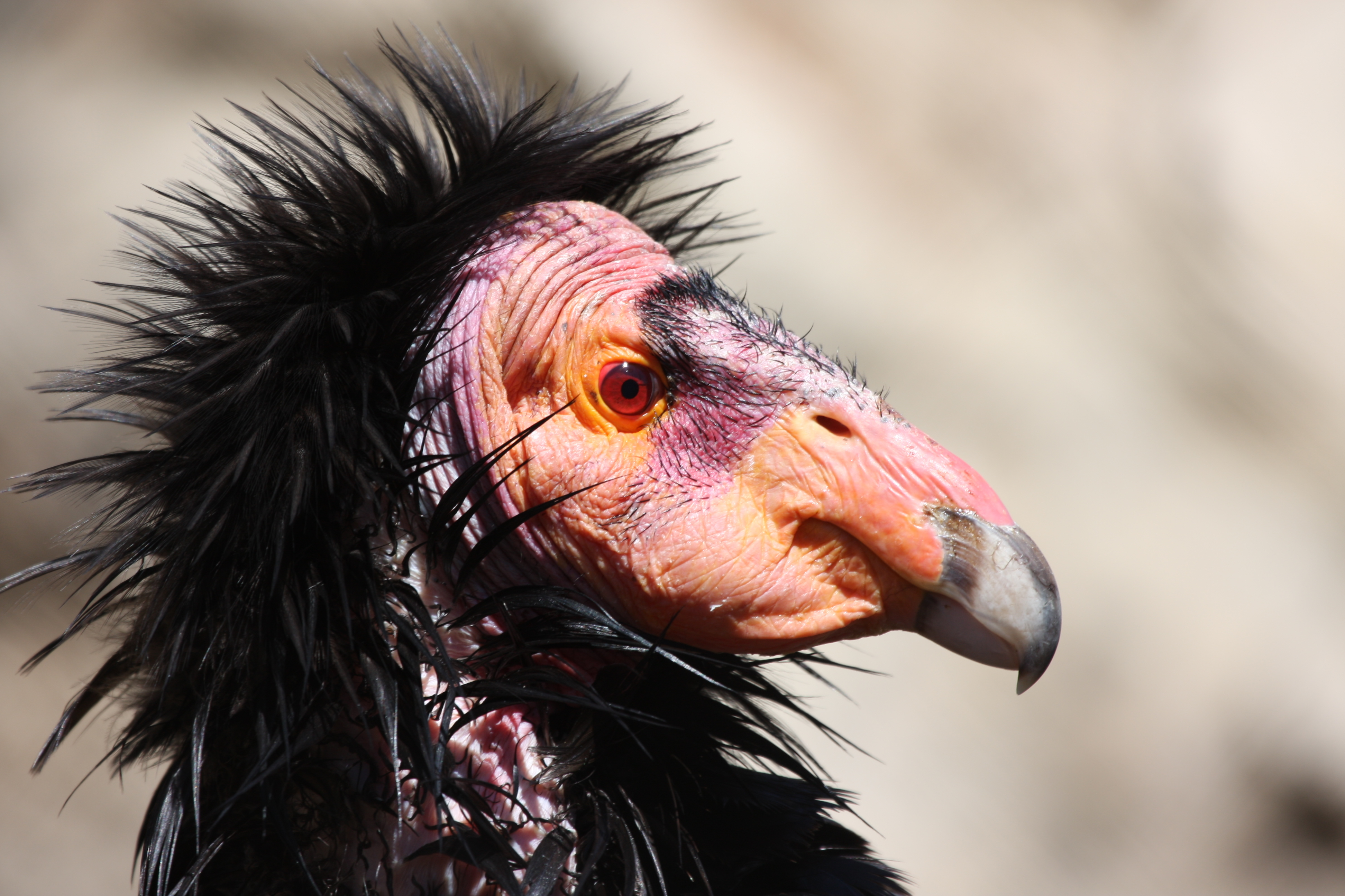 the california condor Criteria: c2a(i)d click here for more information about the red list categories  and criteria justification of red list category after the removal of all surviving.