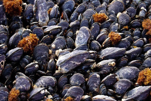 taxonomy and description of the californian mussel Descriptions and articles about the california mussel, scientifically known as mytilus californianus in the encyclopedia of life  see the bold taxonomy browser .
