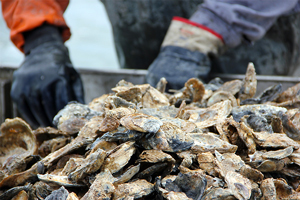 Wild oysters, such as these harvested by dredging, remain an important part of the industry in the Chesapeake Bay.