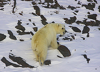 A hybrid polar/grizzly bear in the Canadian Arctic.