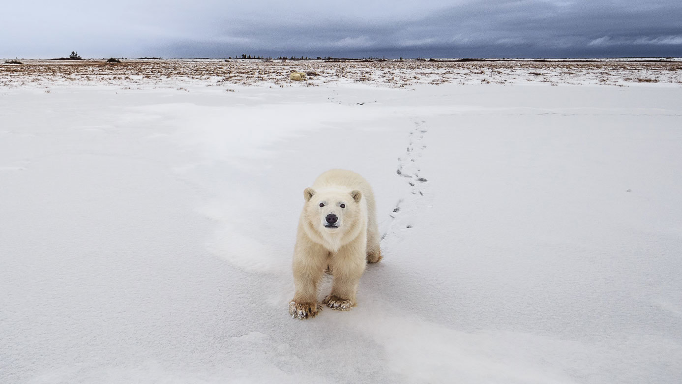 As Polar Bear Attacks Increase in Warming Arctic, a Search for Solutions