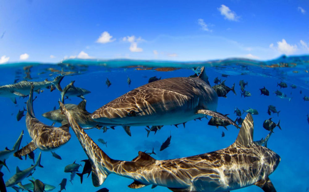 dozens of sharks swimming in clear waters