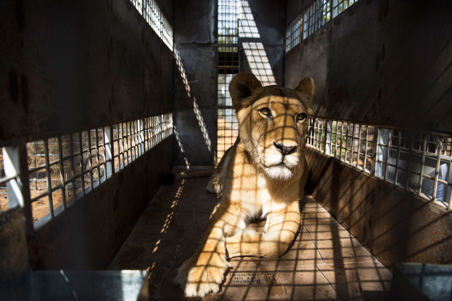 The Ongoing Disgrace of South Africa's Captive-Bred Lion