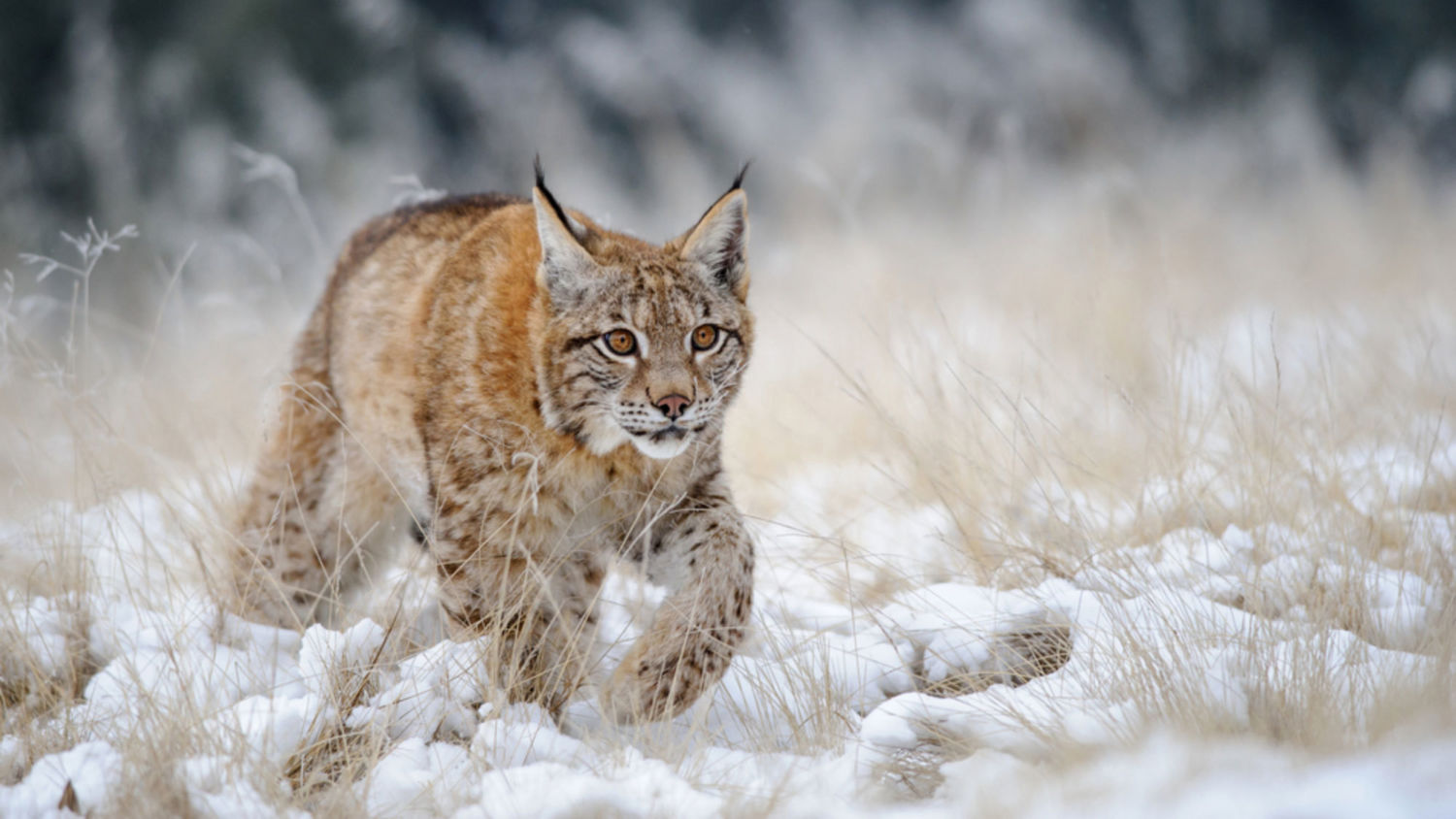 warming signs how diminished snow cover puts species in