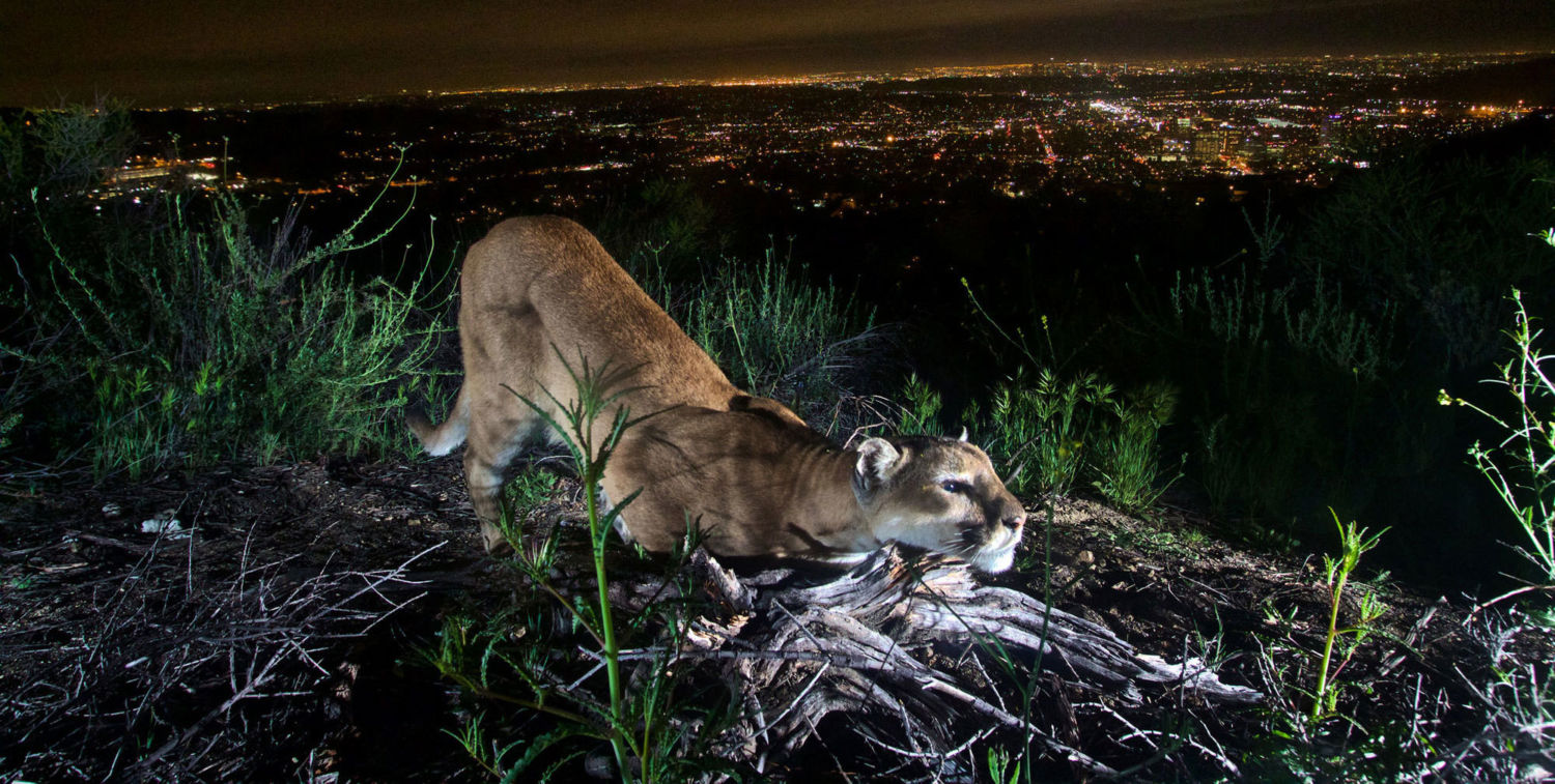 A female mountain lion in the Verdugos Mountains, north of Los Angeles.  Also known