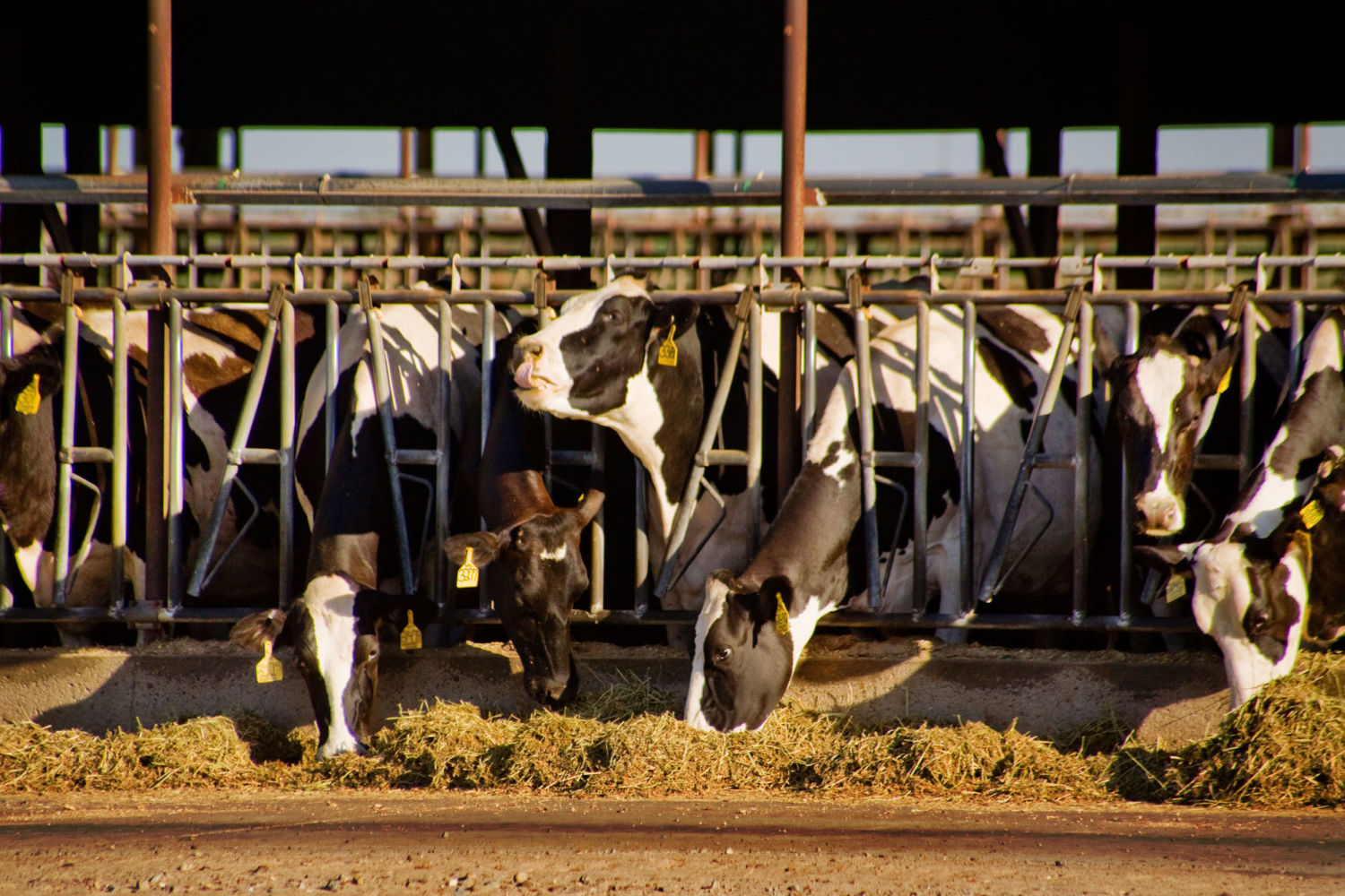 How Eating Seaweed Can Help Cows to Belch Less Methane