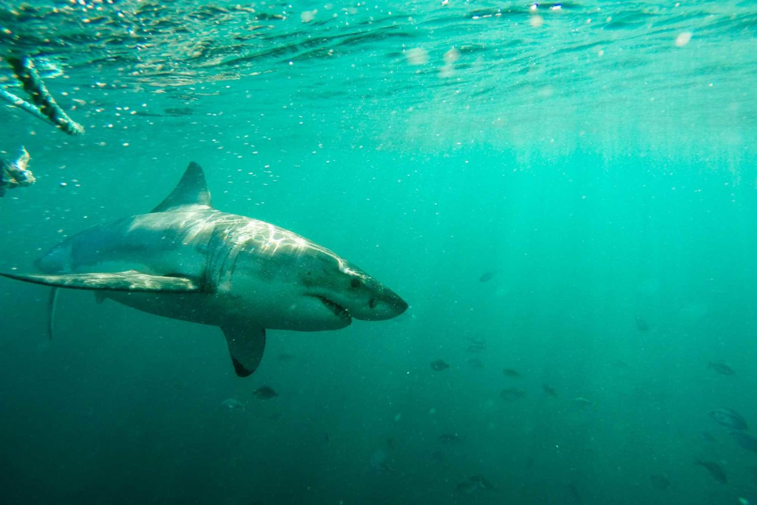 Shark Mystery: Where Have South Africa's Great Whites Gone