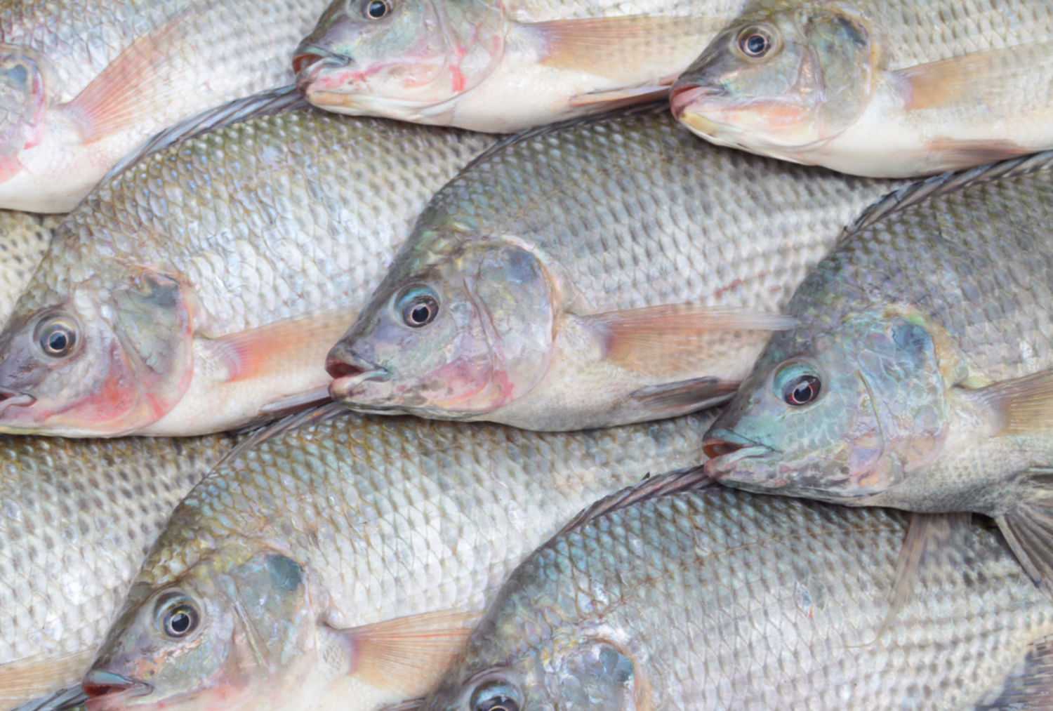 How aquaculture is threatening the native fish species of for Fishing for tilapia