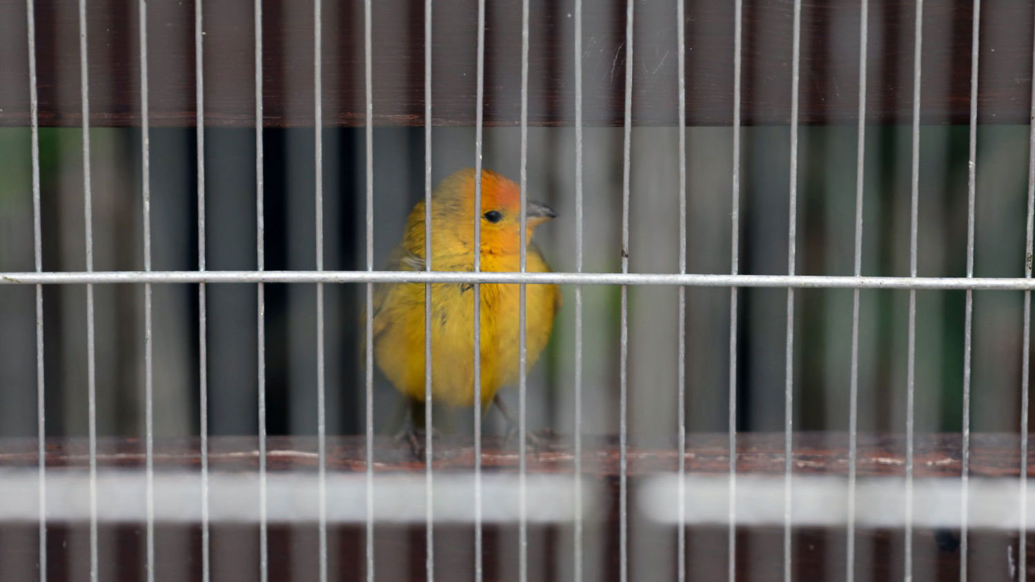 An Illicit Trade in Brazil Is Sending Tiny Songbirds to Their Deaths