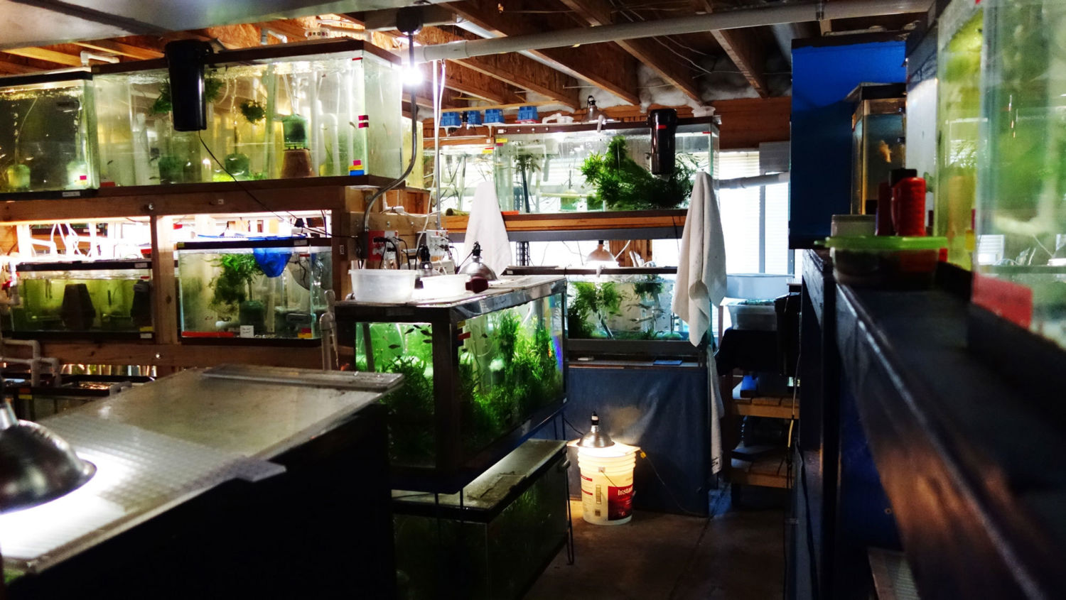 Basement Preservationists: Can Hobbyists Save Rare Fish from