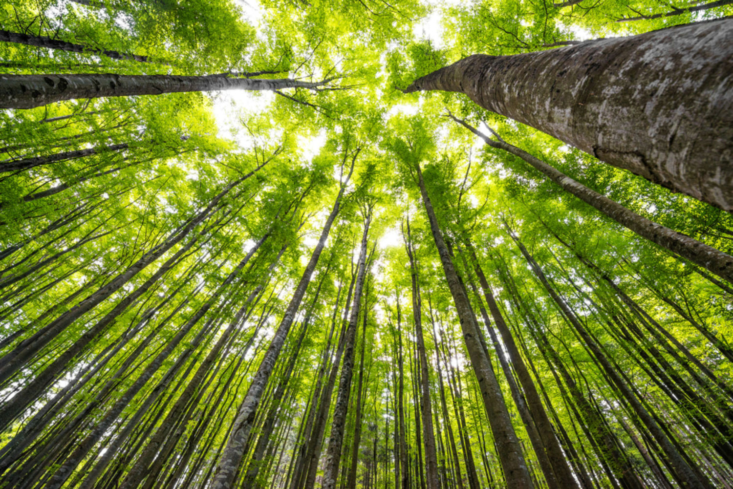 Don't Look to Mature Forests to Soak Up Carbon Dioxide Emissions