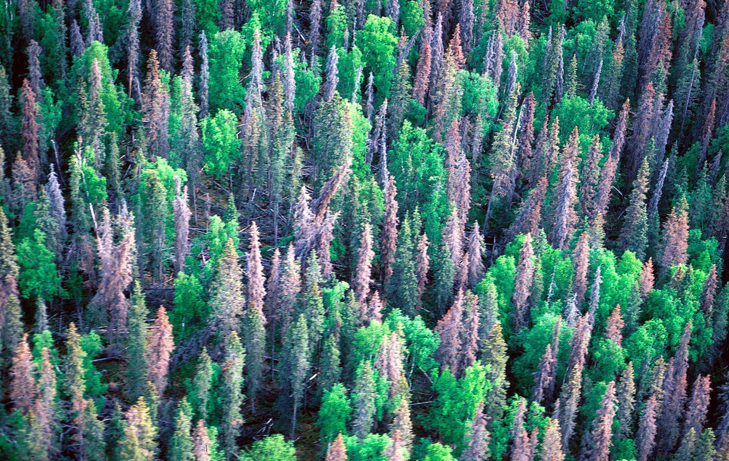 After Massive Beetle Outbreaks, Some Western Forests Show Signs of Recovery