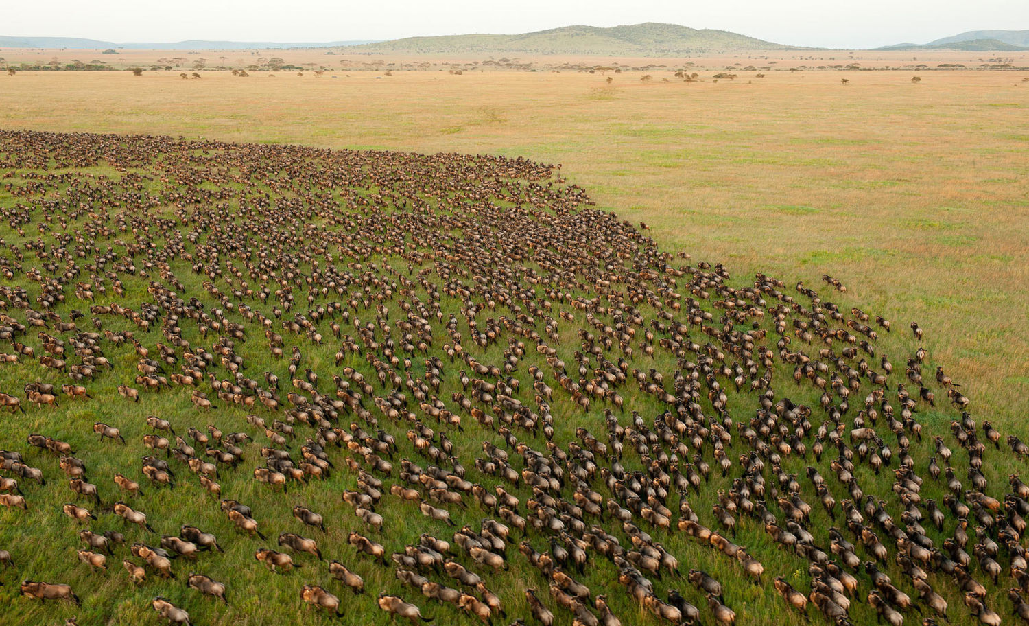 More than 1.5 million wildebeest migrate annually across Tanzania s  Serengeti National Park f431b43998163