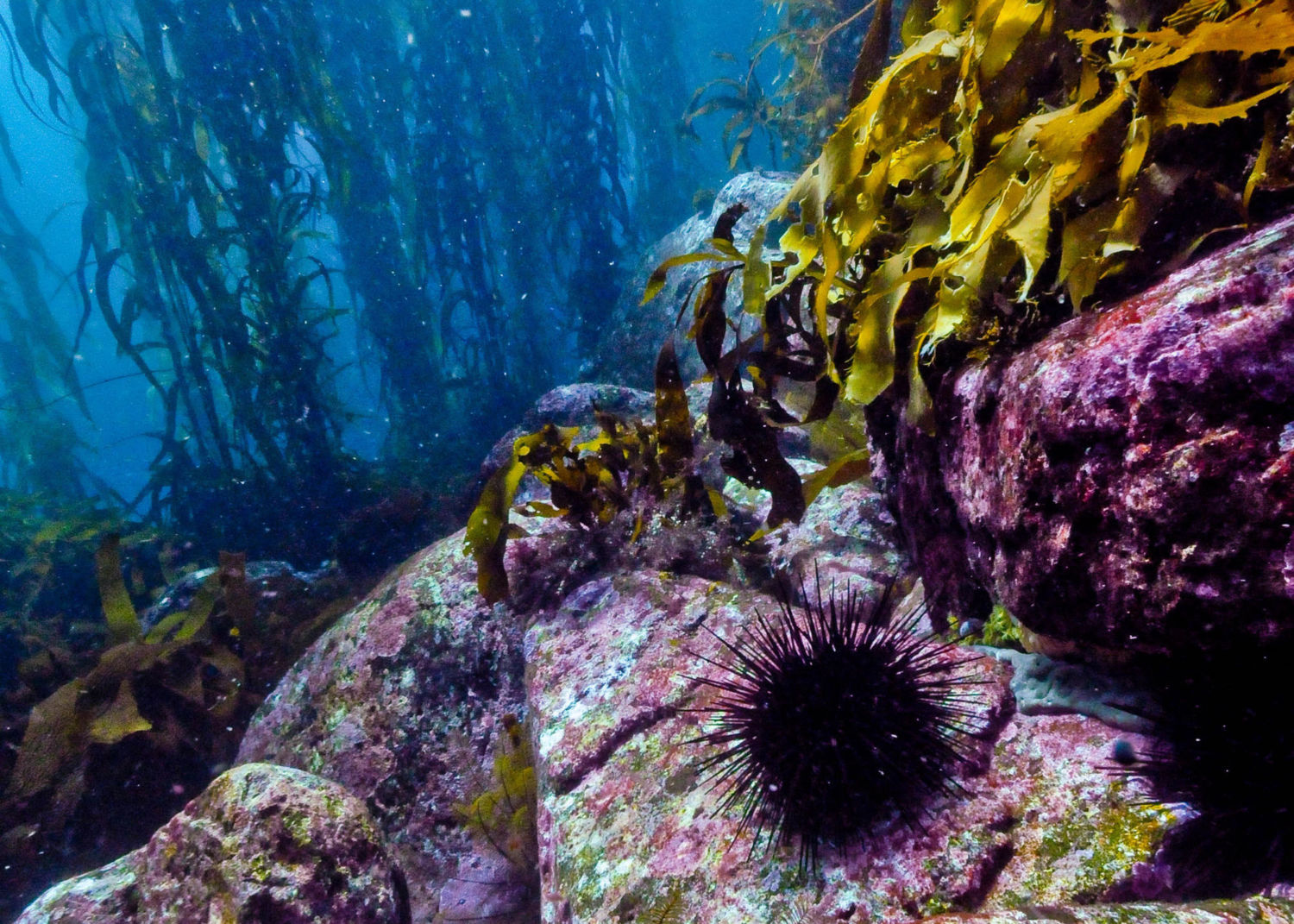 kelp forest Kelp forests are composed of large brown algae that are characterized by large sizes and rapid growth rates this highly productive habitat supports a wide variety of.