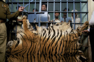 A group of men arrested while trying to sell a tiger skin near Chandrapur, India.
