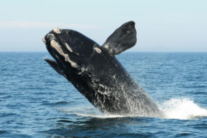 A North Atlantic right whale breaches in the Bay of Fundy in August 2012.