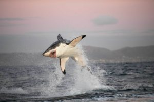 A great white shark off Cape Town leaps in pursuit of a fur seal.