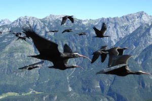 In the last decade, scientists have helped reestablish a migrating population of northern bald ibises in Europe.