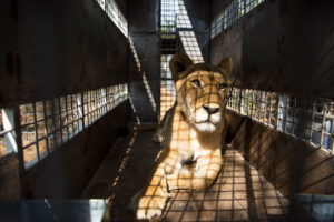 A captive-bred lion being transported in South Africa.