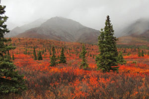 A field of dwarf birch and willow in Alaska's Denali National Park.