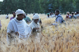 Ethiopian farmers examine the results of a trial of wheat varieties.
