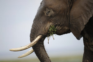 An elephant at the Amboseli game reserve, approximately 250 km south of the Kenyan capital of Nairobi.