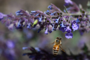 A honey bee visits a blooming catmint plant in New Mexico.
