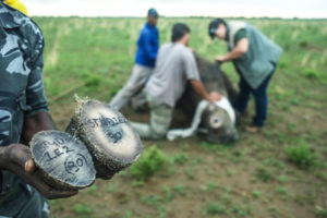 Recently removed rhino horns on a private ranch in the North West province of South Africa.