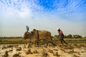 Farmer plowing in the south Indian state of Tamil Nadu.