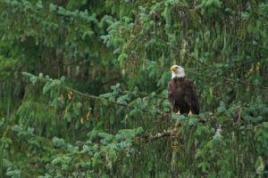 A bald eagle in Tongass National Forest, Alaska.