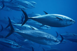 Atlantic bluefin tuna (Thunnus thynnus) off the coast of Madeira Island, Portugal.