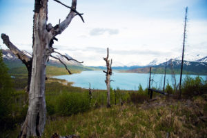 Fire-scarred trees in Kenai National Wildlife Refuge.