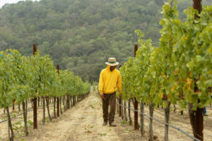 A winery in California's Napa Valley, where about 500 acres are being converted annually into vineyards.