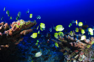 Reef fish above the Pearl and Hermes Atoll in the northwestern Hawaiian Islands.