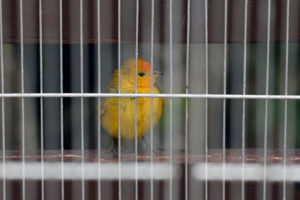 A saffron finch at a Peruvian National Forest and Wildlife Service shelter in Lima after being rescued from illegal export.
