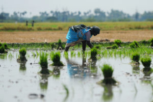 Methane emissions from rice fields, such as this one in India, have risen in recent years.