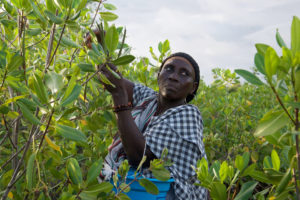 "Saly Sarr picking ""propagules"" from older mangrove trees."