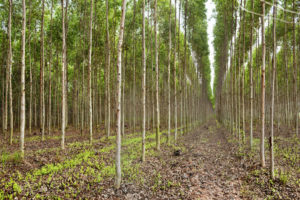 A eucalyptus plantation in Thailand where trees are harvested to make pulp for paper.