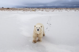 A polar bear outside Churchill, Manitoba, which is located on the animals' annual migration route.