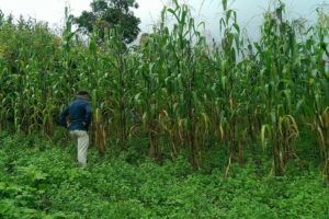 A Mexican scientist inspects a field of olotón maize near Oaxaca, Mexico.