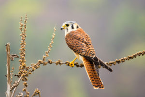 Populations of the American kestrel (above) and other birds are declining in the Mojave Desert as temperatures rise.