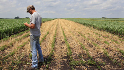 A farmer examines a rye cover crop planted within a field of soybeans in Midburn, Iowa.