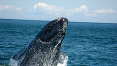 At least 48 North Atlantic right whales have been killed since 2010.