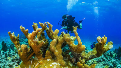 A research diver looks for signs of stony coral tissue loss disease in Florida Keys National Marine Sanctuary.