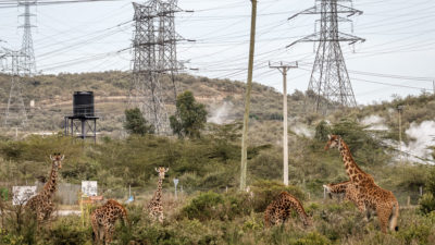 Maasai giraffe browse alongside geothermal power infrastructure in Hell's Gate National Park, Kenya.