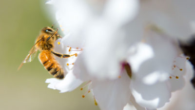 A honeybee pollinates a blossom in an almond orchard in McFarland, California.