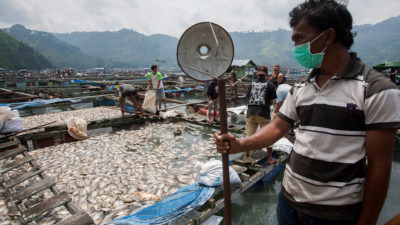 Farmers remove thousands of dead fish from floating cages in the Lake Toba town of Haranggaol in May 2016. The fish died overnight from a lack of oxygen in the water.